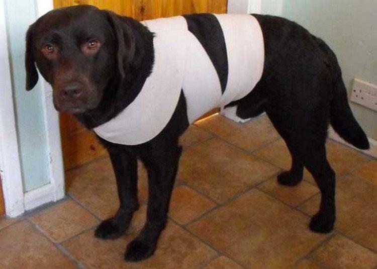 Aprenda cómo proteger a su perro de los fuegos artificiales con el truco de la tela
