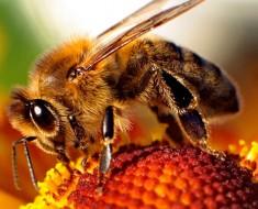 ¡Gran descubrimiento! El veneno de la abeja destruye el virus de inmunodeficiencia humana (VIH)
