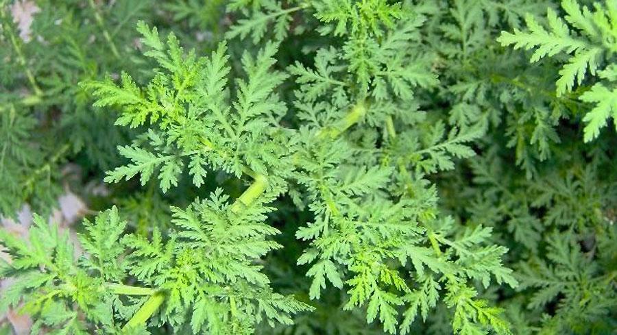 Este excepcional ingrediente botánico acaba con el 98 por ciento de las células cancerosas en menos de 24 horas