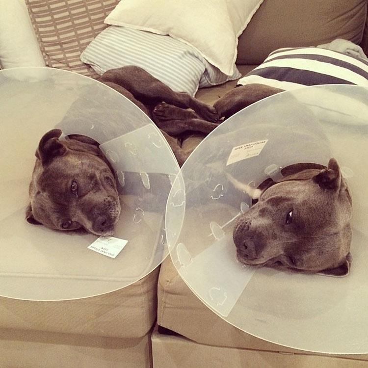 Estos adorables hermanos pit bull harán al instante que tu día mejore