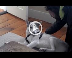 A este husky de 11 meses se le pide que vaya a su caseta. ¿Su respuesta? Divertidísima