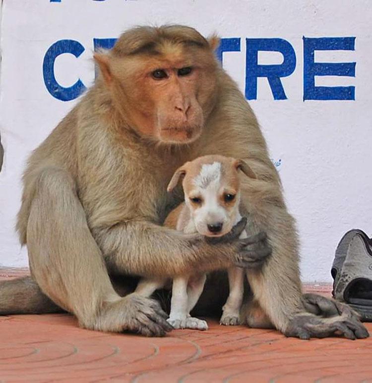 Este mono ha adoptado un cachorro, y por un momento el mundo parece perfecto