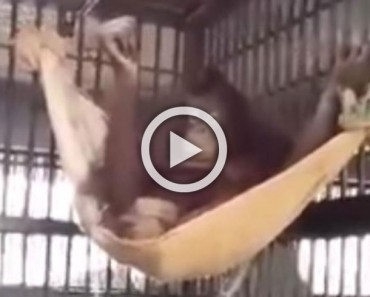 La inteligencia de esta orangutan sorprende al mundo con éste vídeo viral