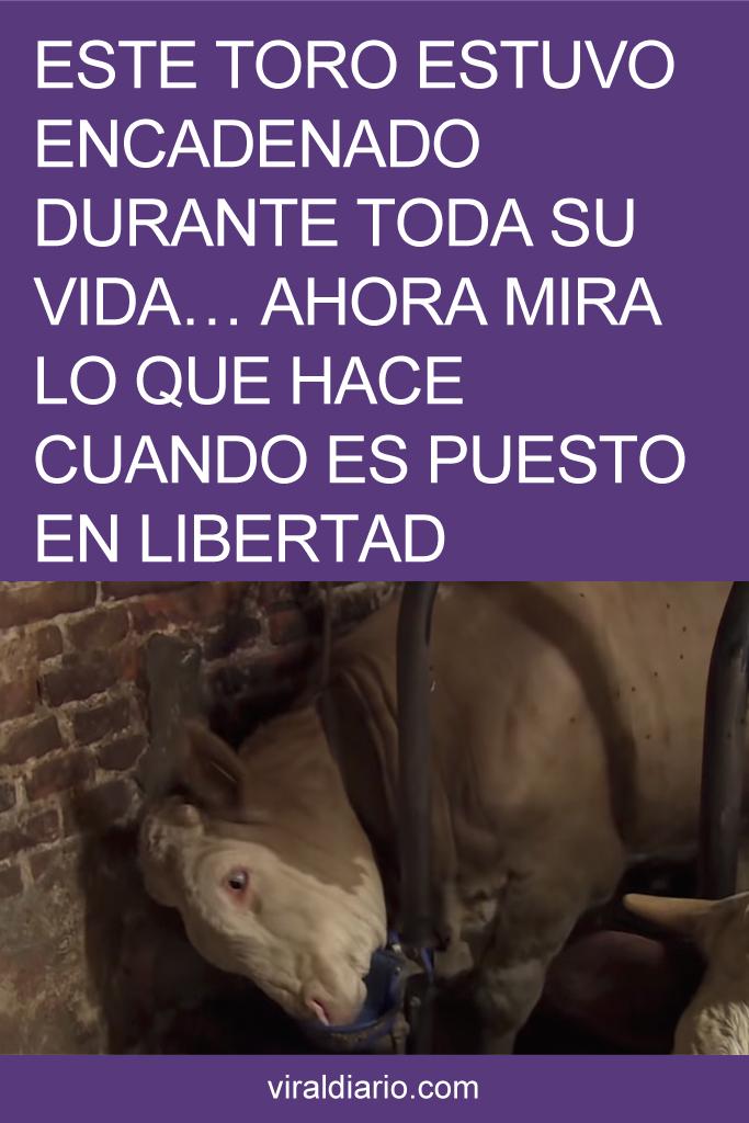 Este toro estuvo encadenado durante toda su vida... Ahora mira lo que hace cuando es puesto en libertad