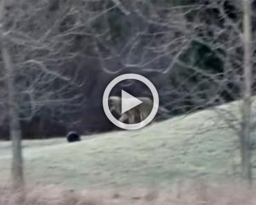 El vídeo de éste coyote se ha hecho viral en todo el mundo. Mira la razón...