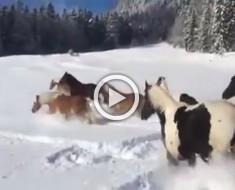 Estos caballos son soltados en la nieve por primera vez. Vas a sonreír cuando veas lo que hacen