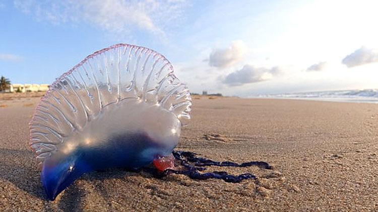 Si alguna vez ves uno de estos en la playa, no lo toques... Puede ser MORTAL