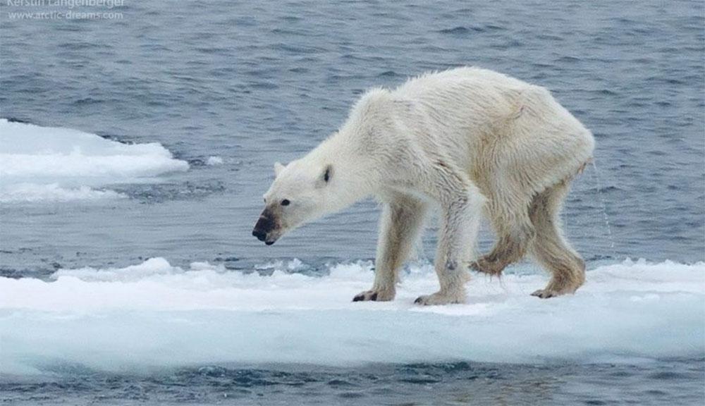 El futuro de los osos polares, en una fotografía