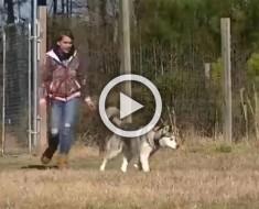 Este husky ha pasado toda su vida encadenado. Mira lo que hace cuando es LIBERADO en un campo