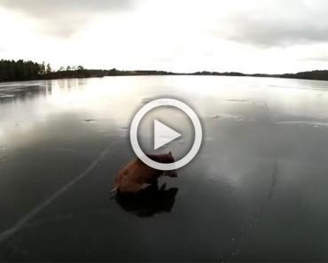 Unos patinadores lo encontraron luchando en un lago congelado y así lo ayudaron