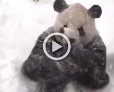 ATENCIÓN: ¡La reacción de este panda durante la gran ventisca se ha hecho viral!