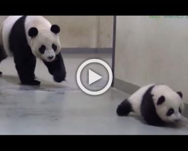 Este pequeño panda se quiere ir de exploración. Mira lo que sucede cuando mamá lo alcanza