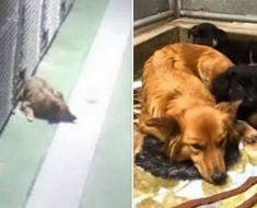 Se escapó de su jaula para reconfortar a unos cachorros que estaban solos y lloraban