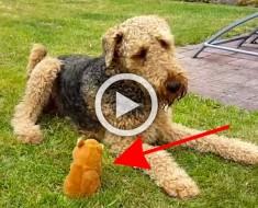 Dan a su perro un juguete pequeño, ¿y qué ocurre cuando comienza a hacer esos ruidos? ¡Divertidísimo!