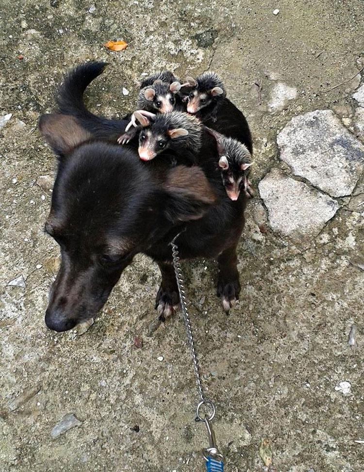 Este perro ha adoptado zarigüeyas huérfanas y hace esto con ellas. ¡Vaya lección nos dan!