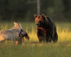 NADIE esperaba que este joven lobo y este oso hicieran algo como esto. ¡Es desconcertante!