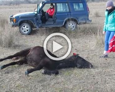 Este caballo salvaje fue encadenado durante meses. Ahora observa su reacción con su salvador