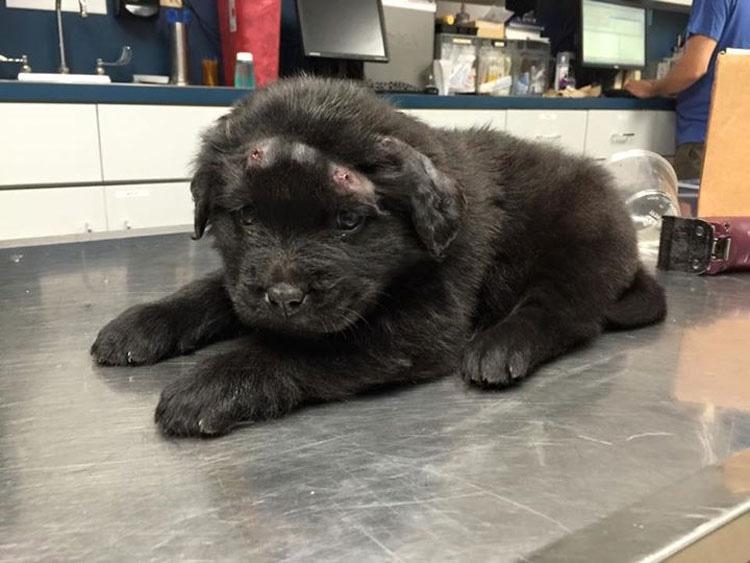 Este cachorro que recibió 18 tiros se arrima al peluche buscando consuelo