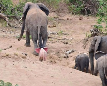 Parece una manada normal de elefantes. ¡Hasta que ves que hay ESTO detrás de la madre!