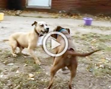 Dos antiguos perros de pelea se encuentran por primera vez. Cómo reaccionan es indescriptible