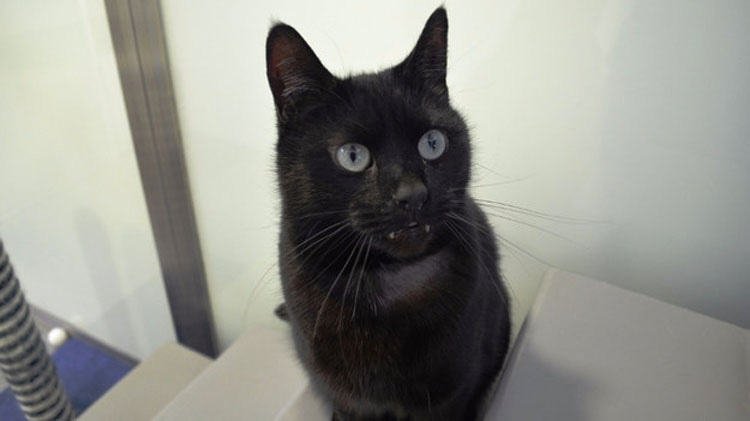 Nadie adopta a este gato porque se parece a un vampiro... Y está desesperado por un hogar