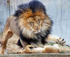 Papa león quería castigar a su cachorro, pero mamá llegó justo a tiempo