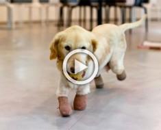 Esta perrita perdió todas sus patas por una crueldad, pero hoy es así de feliz
