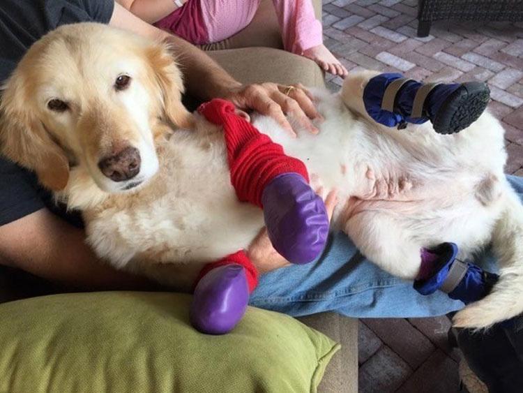 ¿La recuerdas? La perrita que perdió sus patas corre al encuentro de su nueva familia