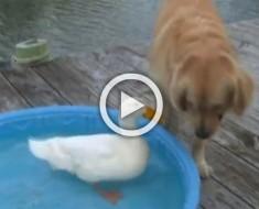 Un perro ve como un pato nada en su piscina. ¡Lo que hace después con su pata es hilarante!