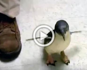 Este pingüino bebé corre hacia su propietario. Cuando por fin llega... !Estoy sorprendido!