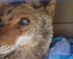 Rescatan a esta coyote ciega. Días más tarde, abren la puerta y descubren ESTO