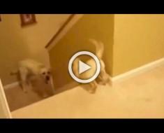 Este perro enseña a su cachorro cómo bajar las escaleras. Ahora mira la diferencia con los gatos