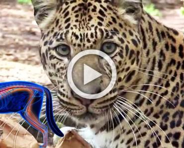 Leones, tigres y leopardos rescatados prueban hierba gatera por primera vez. Los resultados son hilarantes
