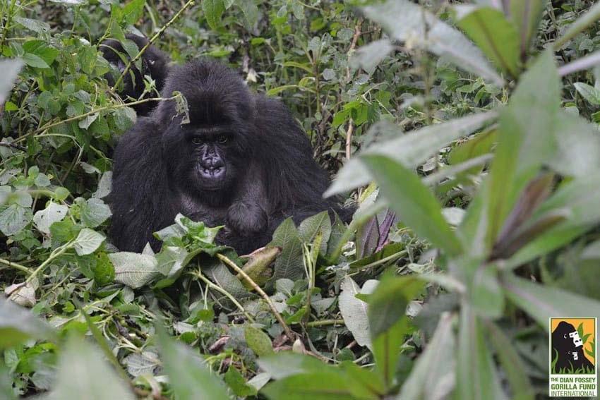 Un gorila camina hacia ellos. ¿Pero qué tiene entre sus manos? Nadie podía creerlo