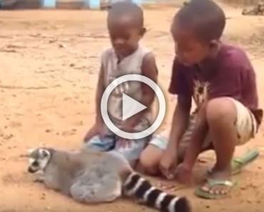 Lo habíamos visto en perros y gatos pero nunca en un lemur. Mira con atención...