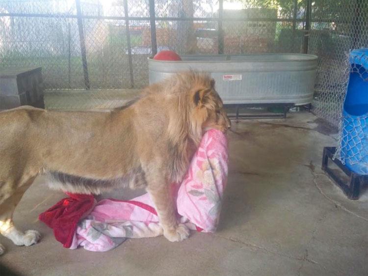 Este gran león se niega a dejar su manta por la razón más ADORABLE que imaginas