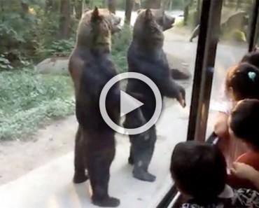 Estos osos sorprenden a los turistas cuando se levantan, pero mira cuando el autobús se aleja...