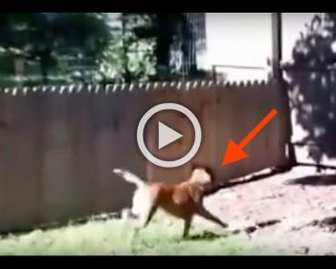 Muestra con orgullo la valla que acaba de construir, ¿y qué hace el perro en el minuto 0:13? ¡Demasiado divertido!