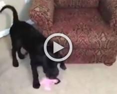 Este perro está jugando con un juguete. Ahora mira lo que aparece debajo del sillón