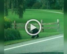 Esta pareja se encontró a una pobre criatura en la carretera. Ahora mira cuando se acercan...