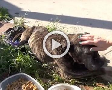Lo que hicieron a este pitbull abandonado te hará llorar. ¡Pero hay un final feliz!