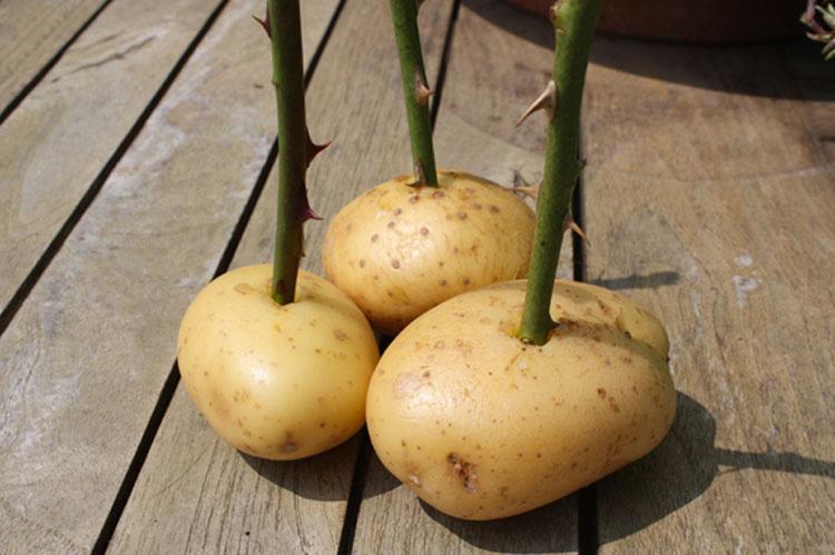 Clava un palo en una patata. Unas semanas más tarde ocurre ESTO