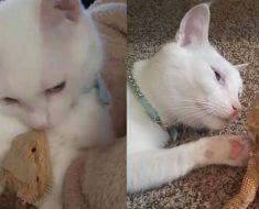 La amistad entre este gato y este lagarto no tiene sentido, pero es FANTÁSTICA