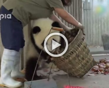 Vienen a limpiar la casa de estos bebés de osos panda y esto es lo que pasó... ¡ADORABLES!