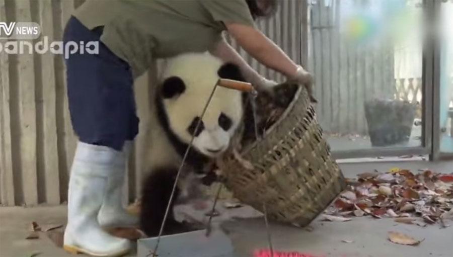 Vienen a limpiar la casa de estos bebés de osos panda y esto es lo que pasó... ¡ADORABLES! 1