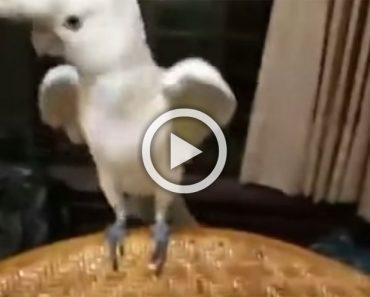 Estamos seguros de que nunca has visto bailar a una cacatúa como lo hace esta...