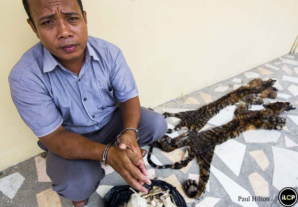 Los últimos tigres de Sumatra están acabando así. ¿Hasta cuándo?