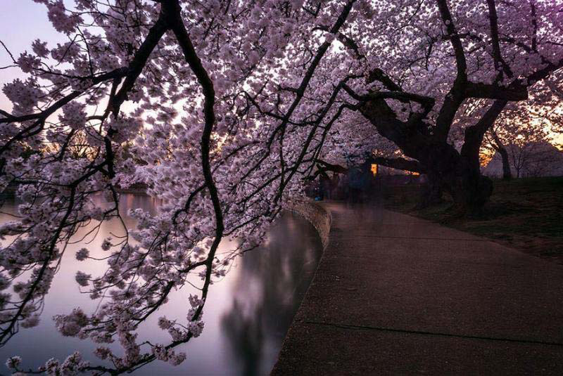 Este increíble acontecimiento sucede en Japón cada año y no hay nada que se le parezca en el mundo