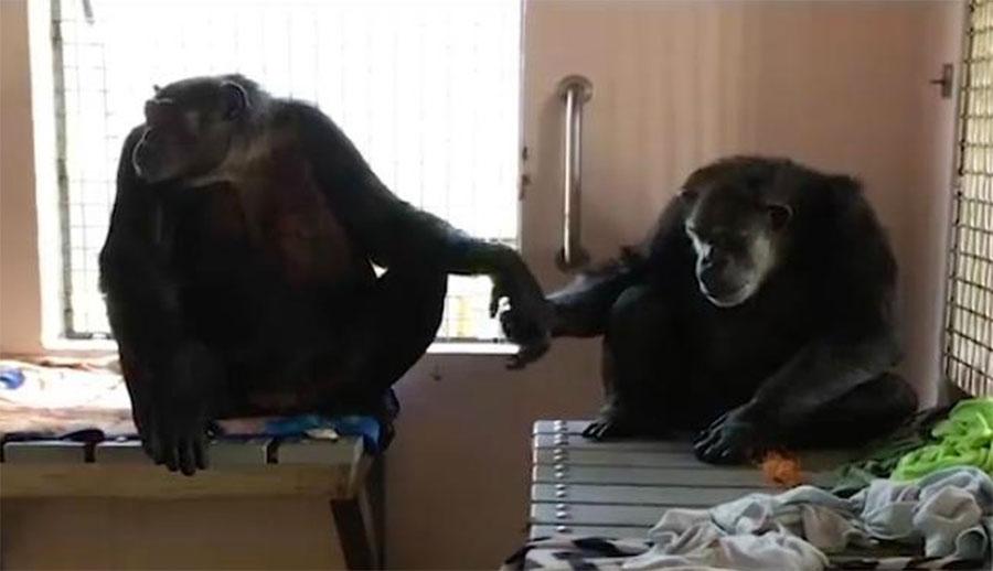Este chimpancé que pasó 18 años en soledad no suelta la mano de su nuevo amigo. Emotivo vídeo