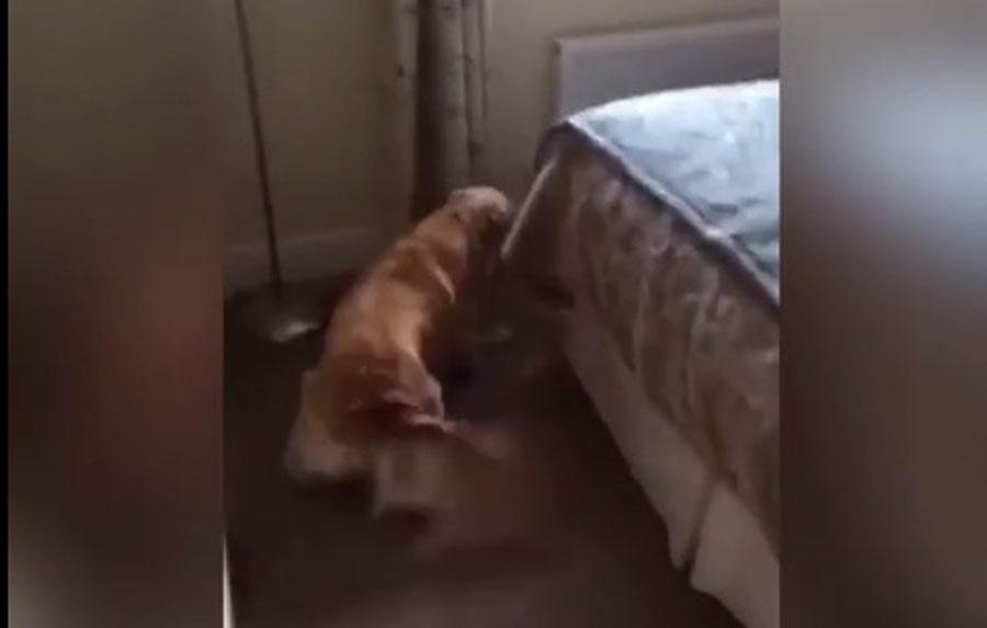 El perro olía algo raro, hasta que mira detrás de la cama...